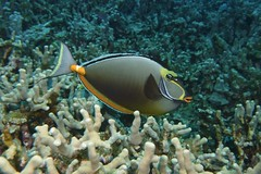 masked (BarryFackler) Tags: fish marinelife seacreature hawaii coralreef nasolituratus umaumalei orangespineunicornfish nasotang nlituratus surgeonfish tang water ecology reef tropical westhawaii ecosystem undersea underwater outdoor island organism ocean 2018 pacificocean pacific polynesia marinebiology marineecosystem marine marineecology nature bay coral barryfackler biology being barronfackler bigislanddiving bigisland kona life zoology creature konacoast honaunaubay konadiving hawaiicounty hawaiidiving hawaiiisland honaunau hawaiianislands fauna diver tropicalfish reeffish diving dive scuba sea southkona sealife sealifecamera sandwichislands saltwater animal aquatic seawater