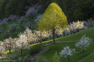 The green tree - Nuglar