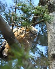 DSC_1190_edit (Hanzy2012) Tags: nikon d500 afsnikkor500mmf4difedii toronto ontario canada wildlife bird teleconverter tc14eii greathornedowl bubovirginianus owl