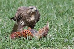 Buzzard feeding March 2018 (jgsnow) Tags: bird raptor buzzard feeding