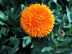 Full (Khaled M. K. HEGAZY) Tags: nikon coolpix p520 fayoum tunisvillage sobeklodge nature outdoor closeup macro plant flower petal bud leaf leaves foliage garden green yellow orange