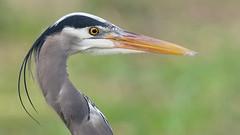 Great Blue Heron (photosauraus rex) Tags: bird heron greatblueheron ardeaherodias vancouver bc canada