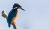 Kingfisher (Steve (Hooky) Waddingham) Tags: animal bird british blue countryside nature fish fishing photography pond river wild wildlife king kingfisher