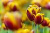 Tulpen | Tulips | Tulipa (*Photofreaks*) Tags: gruga grugapark park essen ruhr ruhrgebiet nrw nordrheinwestfalen deutschland germany tulpen tulips tulipa flowers blumen blüten blossoms colours farben colourful bunt adengs wwwphotofreakseu