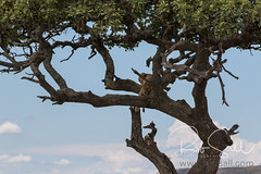 Tree Climbing Lions of the Serengeti (robsall) Tags: 2016 70200 7dmark2 7dmarkii 7dm2 7dmii africa africatourism africawildlifephotography africanwildlife big bigcat bigcats canon canon7020028 canon70200mm canon70200mmf28isiiusm canon7dmark2 canon7dmarkii canon7d2 canon7dm2 canoneos canoneos7dmark2 canoneos7dm2 carnivore cat endangered family feline largefelines lion lioness lions mammal pantheraleo predator robsallaeiral robsalldrone robsalldronephotography robsallphotography robsallwildlifephotography serengetinationalpark tanzania tanzania2016 treeclimbinglion treeclimbinglions vacation vulnerable mararegion tz