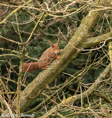 Red Squirrel_2096 (malcolmba) Tags: bwc redsquirrel