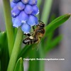 Bij op blauwe druifje 1 - kopie (aart13) Tags: aart hoeven harderwijk nederland animal animals fuji xh1 x h1 xf80 xf100400 nature zwaan bij blauwe druifje flower bee swan swans white bird water birds insect macro