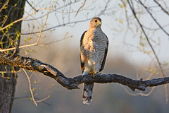 Backyard Cooper's (NaturalLight) Tags: coopershawk hawk backyardbird wichita kansas
