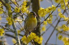 P1520061- gut getarnt (Bine&Minka2007) Tags: siskin corneliancherry kornelkirsche erlenzeisig frühling frühjahr songbirds spring springtime sperlingsvögel songbird