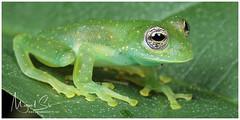 Cascade Glass Frog or Yellow-flecked Glass Frog / Rana de Cristal (Panama Birds & Wildlife Photos) Tags: panama panamawildlife wildlife macro macrophotography macrowildlife anfibio anfibios amphibian amphibians rana ranas glassfrog ranadecristal nature nationalgeographic ngc