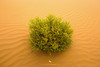 Nature Implanted (hisalman) Tags: desert sand nature plant green golden dubai abudhabi abstract wallpaper