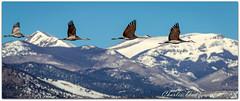 Flying Bennett Peak (ctofcsco) Tags: 14x 14xii 1800 1d 1dmark4 1dmarkiv 1div 280mm aperturepriorityae canon colorado didnotfire digital ef ef200mmf2lisusm14x eos eos1d eos1dmarkiv esplora explore 2018 alamosa birds cranes explored geo:lat=3745997671 geo:lon=10614014486 geotagged image landscape migration montevista montevistanwr nationalwildliferefuge nature northamerica photograph picture sanluisvalley sandhillcrane sandhillcranefestival spring wildlife wwwmvcranefestorg zinzer extender f80 flashoff iso100 mark4 markiv photo pic pretty renown spot supertelephoto teleconverter telephoto unitedstates usa