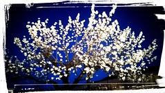 HANAMI ♡ (lobotomyzed) Tags: hanami vaucluse cerises fleurs flowers flores cerejeira cherry blossom spring primavera