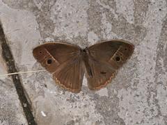 Mycalesis sp. (dhobern) Tags: 2018 china lepidoptera march xtbg xishuangbanna yunnan nymphalidae satyrinae mycalesis