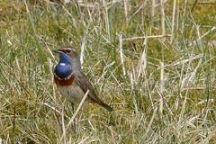 Blauwborst (jehazet) Tags: lauwersmeer blauwborst lusciniasvevicacyanecula bluethroat bird vogel jehazet