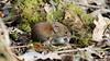 Bank vole - Clethrionomys glareolus (jaytee27) Tags: bankvoleclethrionomysglareolus localwoodkent naturethroughthelens