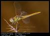 Dragonfly ( sympetrum sp ) (__Viledevil__) Tags: animal anisoptera arthropod background beauty bug closeup dragonfly entomology eyes fly fragility insect invertebrates leg libellulidae macro nature odonata odonate outdoor single slim sympetrum transparent wild wildlife wing wings sanfernando cadiz españa