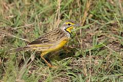 Yellow-thoated Longclaw (Ian Locock Photography) Tags: 2017 birds kenya masaimara yellowthroatedlongclaw zebraplains