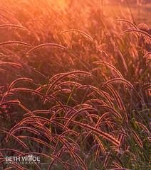 Weeds (Beth Wode Photography) Tags: weeds grasses sunlitgrasses beth wode bethwode