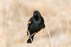 Red-winged Blackbird making some noise