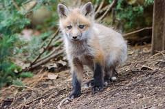 L'éveil à la vie (anniebevilacqua) Tags: renardroux redfox vulpesvulpes renardeau foxcub animal mammifère forêt forest
