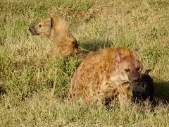 Kenya - 141 (Bruno Rijsman) Tags: kenya africa eastafrica safari wildlife animals lion giraffe bruno tecla