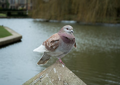 20180322-21_Coombe Abbey Country Park - Pigeon (gary.hadden) Tags: coombeabbey coombepark coventry warwickshire countrypark rambling countrywalking pidgeon bird colourful coombepool posing