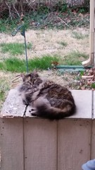 Fuzzy (Adventurer Dustin Holmes) Tags: 2018 cat cats feline pet pets animal animals mammal domesticcat straycat alleycat domesticatedcats gray grey fuzzy