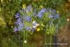 Blue Agapanthus Flowers (Anna Calvert Photography) Tags: floral flowers garden macro macrophotography mygarden nature naturephotography petals plants agapanthus blueagapanthus