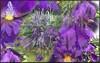 Iris Medley (gailpiland) Tags: iris