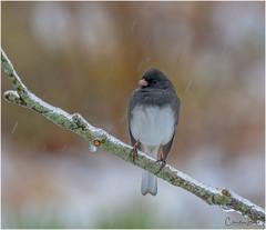 Braving the Elements (Summerside90) Tags: birds birdwatcher darkeyedjunco april spring icestorm backyard garden nature wildlife ontario canada