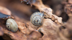 Hairy Snails - Trochulus hispidus (Max Thompson Photography) Tags: macro spider snail hairy bokeh depth detail insect hidden small south west england uk somerset light
