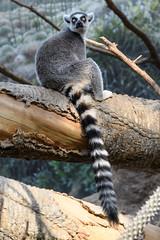 Ring-Tailed Lemur (PMillera4) Tags: ringtailedlemur lemur bronxzoo thebronx newyork newyorkcity