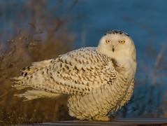 Snowy Owl. (Estrada77) Tags: snowyowl raptors birding birds birdsofprey distinguishedraptors nikond500200500mm illinois wildlife outdoors spring2018