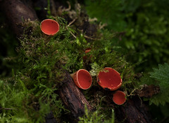 Scarlet-cup-fungus_8513 copy (Peter Warne-Epping Forest) Tags: sarcoscyphacoccinea scarletcupfungus scarletelfcup fungi spring springwatch