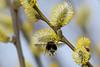 Lente-Spring (Bram Reinders(on-off)) Tags: lente spring hommel bumblebee wilgenkatjes willowcatkins willow wilg macro micro natuur nature wildlife curiosityisthesourceofallknowledge nieuwsgierigheidisdebronvanallekennis groningen holland nederland thenetherlands nikond500 nikonafs200500mmf56evred nikon200500 nikkor200500 200500 nikkor nikon ©bramreindersdelfzijl bramreinders bram reinders delfzijl wwwbramreindersnl
