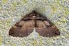 Shoulder Stripe ... Anticlea Earophila (AndyorDij) Tags: shoulderstripe anticleaearophila geometridae moth insects insect england empingham rutland uk unitedkingdom andrewdejardin 2018 shop nationalmothweek