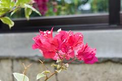 Bougainvillea (pink) (bozyhan1105) Tags: bougainvillea pink plants flowers nature cabanatuan nueva ecija philippines