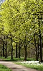 Mainz, Am Drususwall, Ahorn / maple (acer) (HEN-Magonza) Tags: mainz amdrususwall frühling springtime rheinlandpfalz rhinelandpalatinate deutschland germany flora horn maple acer spring
