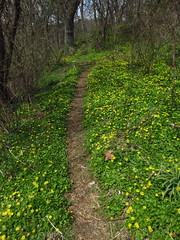 ground cover (Jen_Vee) Tags: creek dirt path walkway flowers yellow buttercup plants spring green knox nature parks national valleyforge trails