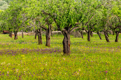 Spring morning in a Mallorcan almond grove (Peter Quinn1) Tags: mallorca almond almondgrove almondtree orchard meadow spring flowers wildflowers