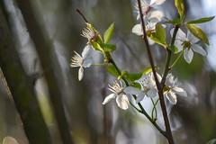 April blossoms. (agnieszka.a.morawska) Tags: bkhq dof macro bokeh bokehlicious beyondbokeh helios44m helios sunlight april blossoms flower spring