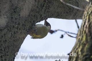 Gruenspecht_Picus viridis-67