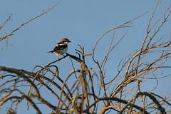s e n a to r (j@nrod) Tags: algarve lanius senator woodchat shrike portugal birding lagoa
