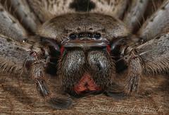 Grey Huntsman Spider - Holconia immanis (Steve Hitchcock) Tags: greyhuntsmanspider holconiaimmanis stevehitchcock queenslandspiders