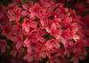 Azalea (Joseph Pearson Images) Tags: flower azalea pink macro