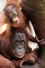 orangutan Lea and Suria Krefeld BB2A5236 (j.a.kok) Tags: orangutan orangoetan orang animal aap asia azie ape mammal monkey mensaap primaat primate krefeld suria zoogdier dier lae