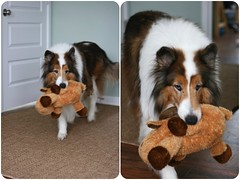 Blurry But Cute Files: Ben & The Moose (~ Liberty Images) Tags: pet animal ben benedict collie dog canine buddy