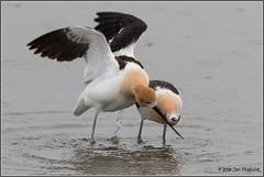 In Love 5266 (maguire33@verizon.net) Tags: americanavocet bearrivermigratorybirdrefuge avocet bird breedingadult mating wetlands wildlife corinne utah unitedstates us