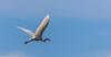 9Q6A8024 (2) (Alinbidford) Tags: alancurtis alinbidford brandonmarsh greatwhiteegret nature wildbirds wildlife